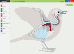 Screenshot of the All About Bird Anatomy tool on the Cornell Bird Lab, highlighting the circulatory and respiratory systems.